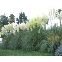 Pampas Grass White Feather 30 seeds