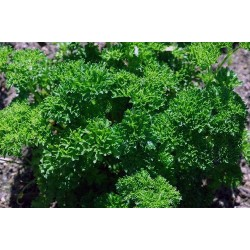 Parsley Curled Leaved 1000 seeds