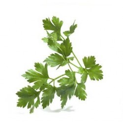 Parsley Dark Green Italian Flat Leaf 1000 seeds