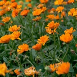 Pot Marigold  100 seeds