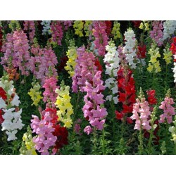 Antirrhinum Crown Mix 1000...
