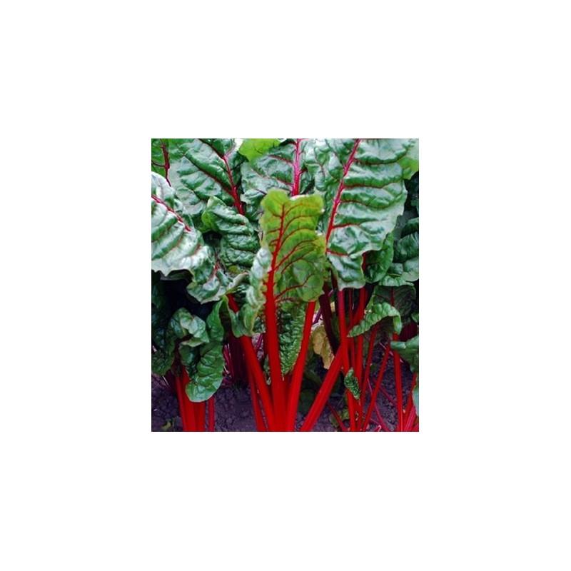 Rhubarb Chard 200 seeds