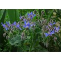 Borage 100 seeds