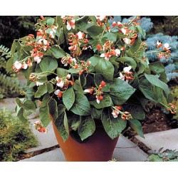 Runner Bean Hestia (Dwarf) 25 seeds