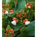 Runner Bean Painted Lady 25 seeds