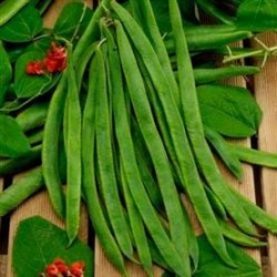 Runner Bean Scarlet Emperor 25 seeds