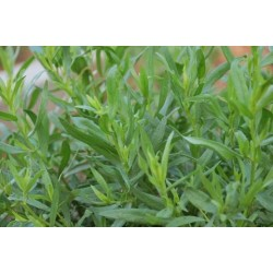 Russian Tarragon 700 seeds
