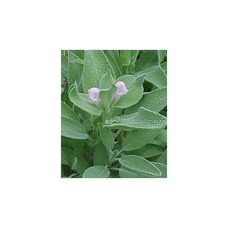 Sage 40 seeds