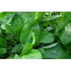 Sorrel Large French 500 seeds