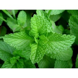 Spearmint 1500 seeds