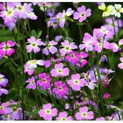 Stock Virginian Mixed 1500 seeds