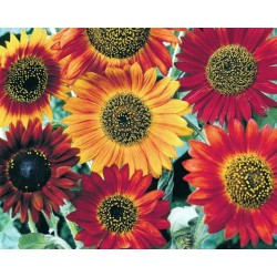 Sunflower Harlequin Mix F1...