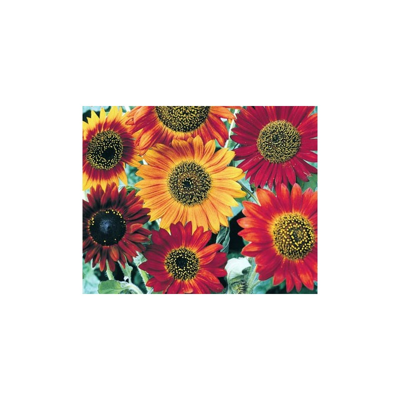 Sunflower Harlequin Mix F1 20 seeds