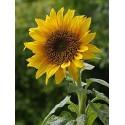 Sunflower Giant 50 seeds