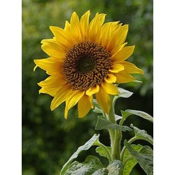 Sunflower Giant 50 seeds
