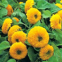 Sunflower Teddy Bear 40 seeds