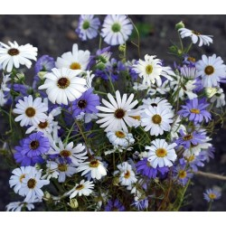 Swan River Daisy Mixed 1500 seeds