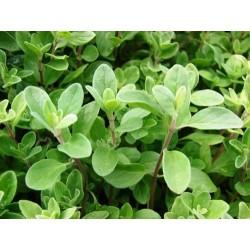 Sweet Marjoram 2000 seeds