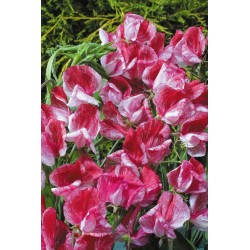 Sweet Pea America 30 seeds