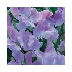 Sweet Pea Charlie's Angel 25 seeds