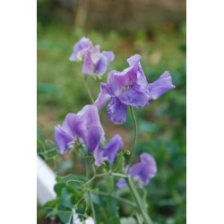 Sweet Pea Noel Sutton 30 seeds