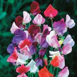 Sweet Pea Parfumiere Mix 30 seeds
