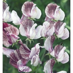 Sweet Pea Senator 30 seeds