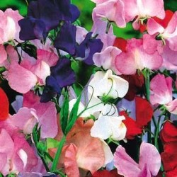 Sweet Pea Spencer Mix 60 seeds