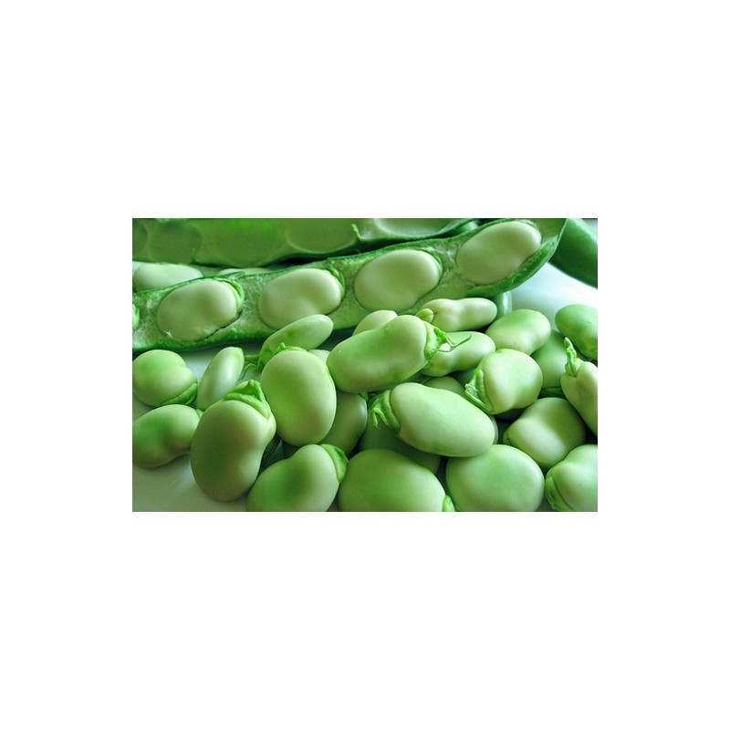 Broad Bean Giant Exhibition 50 seeds