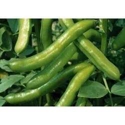 Broad Bean Imperial Green Longpod 50 seeds