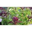 Basil Siam Queen 200 seeds