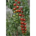 Tomato Gardener's Delight 100 seeds