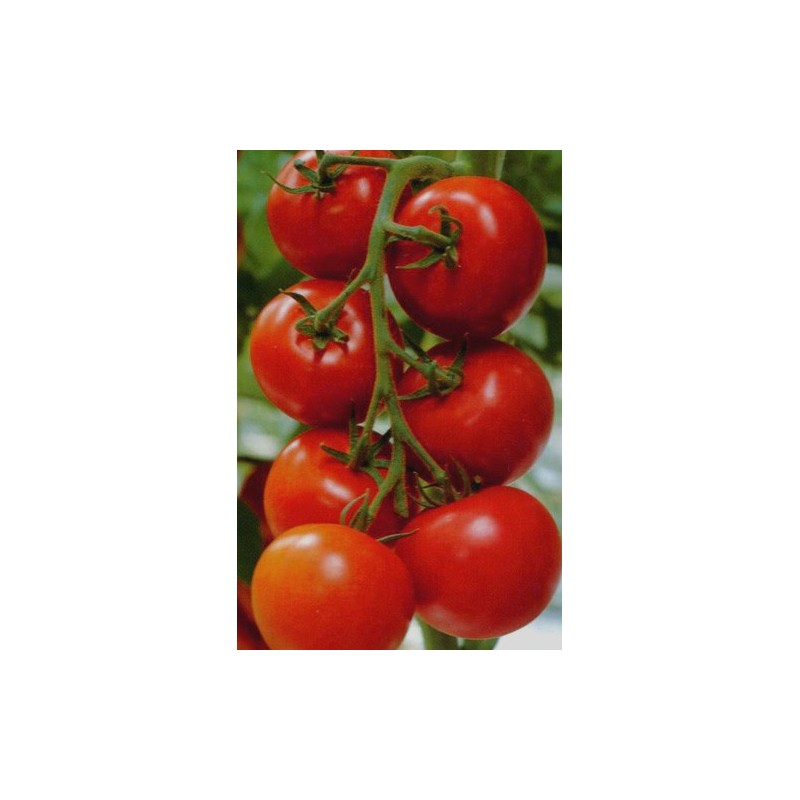 Tomato Moneymaker 100 seeds