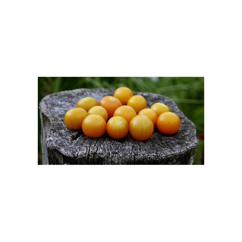 Tomato Sungold F1 5 seeds