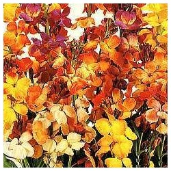 Wallflower Fair Lady Mix 1200 seeds
