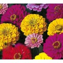 Zinnia Dahlia Flowered Mix 50 seeds