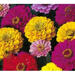 Zinnia Dahlia Flowered Mix...