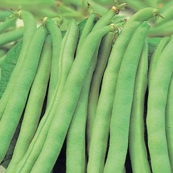 Dwarf French Bean Tendergreen 40 seeds