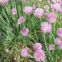 Chives 500 seeds