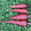 Carrot Cosmic Purple 800 seeds