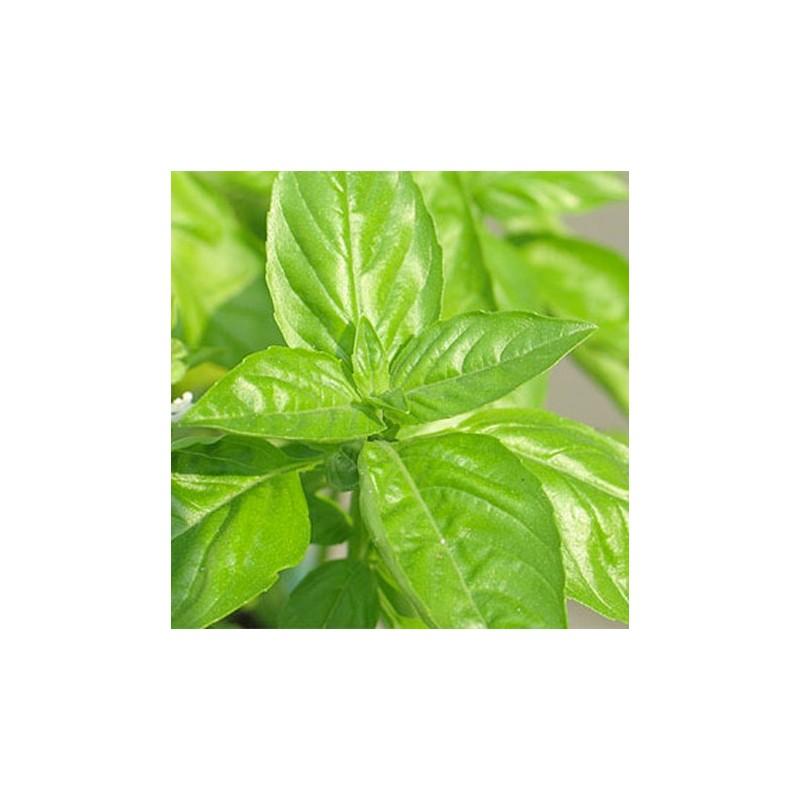 Organic - Basil Italian Classic 400 seeds
