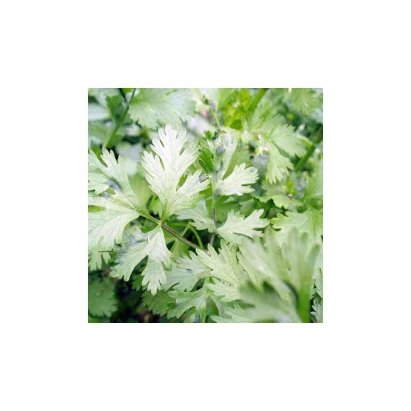 Organic - Coriander Cilantro 200 seeds
