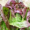 Organic - Lettuce Rubens Red Romaine 500 seeds