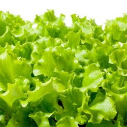 Organic - Lettuce Salad Bowl 500 seeds