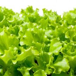 Organic - Lettuce Salad Bowl 500 seeds