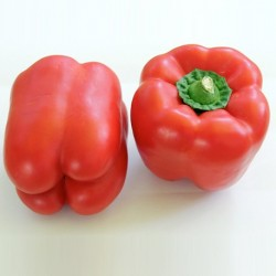 Organic - Sweet Pepper Bendigo F1 5 seeds