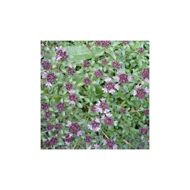 Organic - Thyme 500 seeds