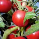 Organic - Tomato St Pierre 25 seeds