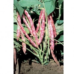 Organic Dwarf Bean Borlotto Nano 30 seeds