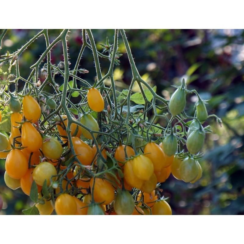 Tomato Ildi 25 seeds